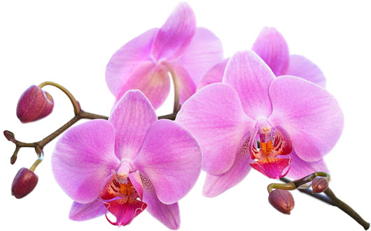 home-orchid