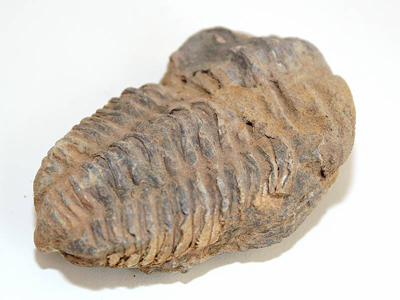 Calymene Trilobite 400 - 440 million years old from Morocco